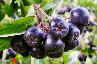 Черноплодная рябина помогает в борьбе с раком